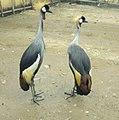 Burundi birdoj.jpg