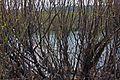 Bush on the river - panoramio.jpg