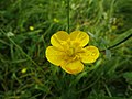 Buttercup in Clifftop Field.jpg