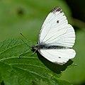 Butterfly (35300051604).jpg