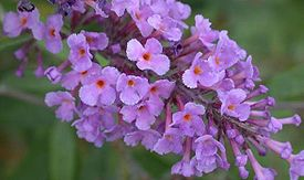 Butterfly Bush, Summer Lilac, Orange-eye Butterfly Bush (Buddleja davidii) 3.jpg