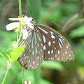 Butterfly p1100275 cropped.jpg