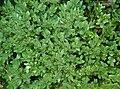 Buxus 'Green Velvet' Plant 2700px.jpg