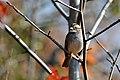 CA White-throated Sparrow (5352912146).jpg