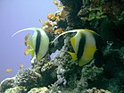 CIMG2602 Two Red Sea Bannerfish, Lighthouse Reef (2692870043).jpg