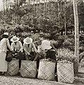 COLLECTIE TROPENMUSEUM Het verzamelen van de geplukte thee op plantage Leuwimanggoe omgeving Cianjur TMnr 60052157.jpg
