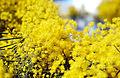 CSIRO ScienceImage 3107 Wattle Acacia sp flowers.jpg