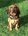 Cachorro Bloodhound.jpg