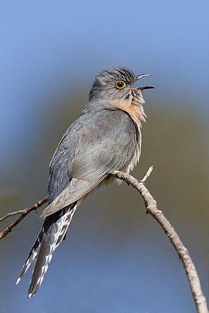 Fan-tailed cuckoo - Image: Cacomantis flabelliformis