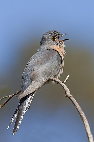 Fan-tailed cuckoo - Image: Cacomantis flabelliformis