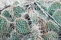 Cacti in the Alberta badlands.jpg