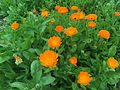 Calendula officinalis, pot marigold.JPG