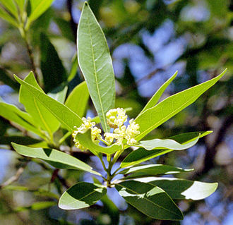 Umbellularia - Image: California Bay Laurel Flowers crwb