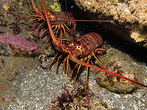California spiny lobster - Two California Spiny Lobsters offshore of Anacapa Island