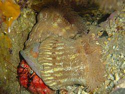 Deux anémones parasites, fixées sur la coquille occupée par un bernard-l'hermite