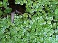 Callitriche stagnalis FuenteSanLorenzo Enfoque 2009-9-13 SierraMadrona.jpg