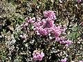 Calluna vulgaris. Carrizu.jpg