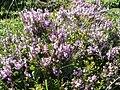 Calluna vulgaris 4.jpg