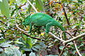 Calumma parsonii, Peyrieras reptile reserve 04.JPG