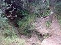 Camí estret erosionat pels cavalls que baixa a la Font de Can Gordi - panoramio.jpg