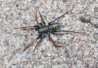 <i>Cambalida</i> Genus of spiders
