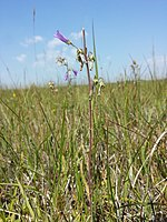 Campanula sibirica (subsp. sibirica) sl4.jpg