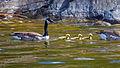 Canada geese IMG 9101.jpg