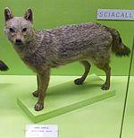 Canisaureusmoreoticus.jpg