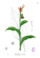 Canna indica Blanco1.4.png