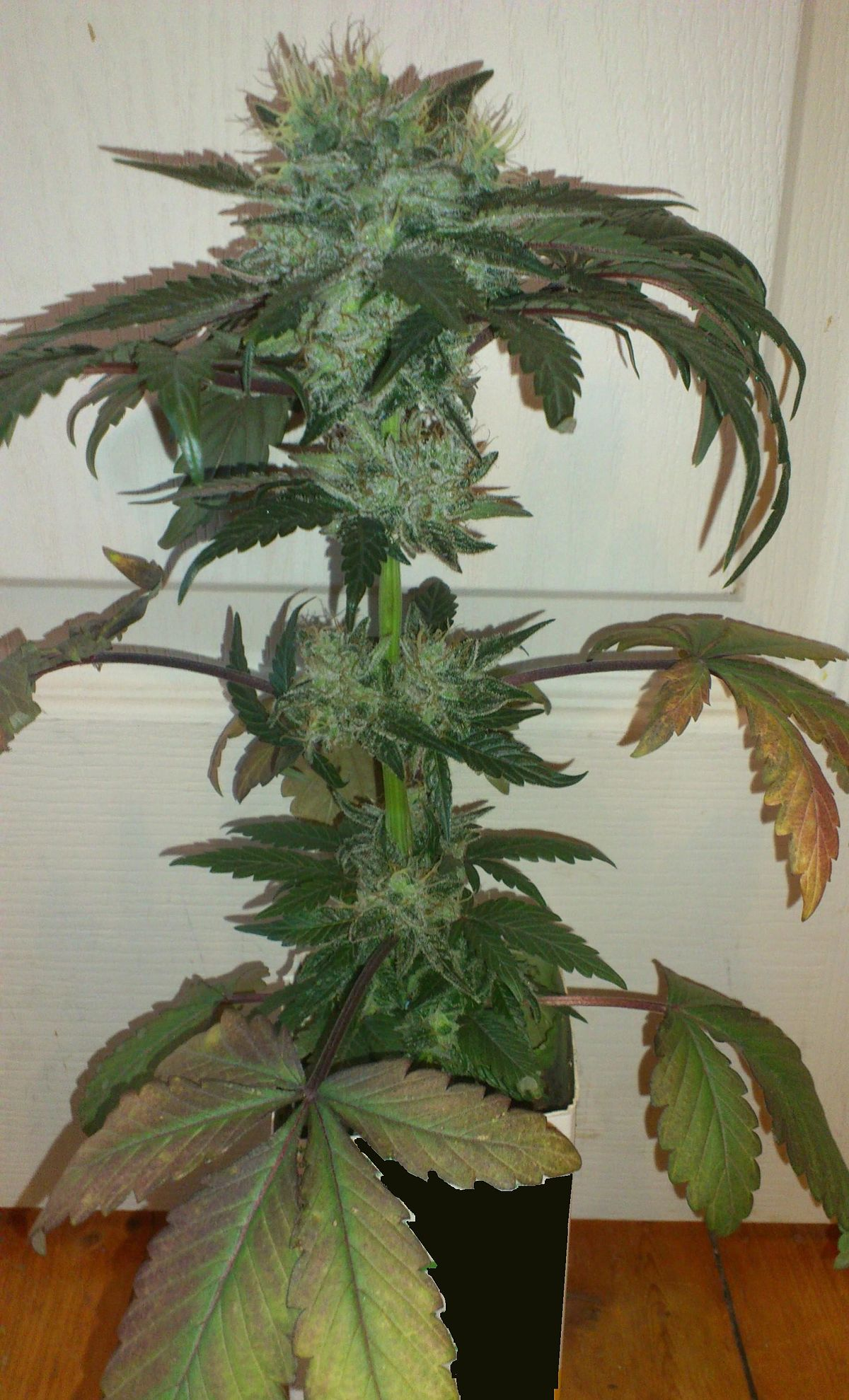 Cannabis indica wikip dia for Plante cannabis interieur