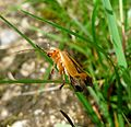 Cantharidae. Soldier Beetle - Flickr - gailhampshire (1).jpg