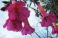 Cantua buxifolia (8464341862).jpg