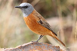 Cape Rock Thrush, Monticola rupestris at Marakele National Park, South Africa (14099568796).jpg