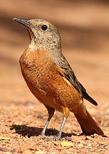 Cape Rock Thrush, Monticola rupestris at Suikerbosrand Nature Reserve, Gauteng, South Africa -- FEMALE (15514996281).jpg