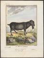 Capra aegagrus - 1700-1880 - Print - Iconographia Zoologica - Special Collections University of Amsterdam - UBA01 IZ21300261.tif