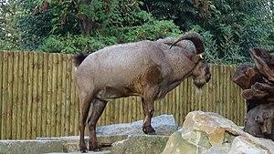 West Caucasian tur - Image: Capra caucasica male wiki 1