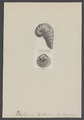 Caprina - Print - Iconographia Zoologica - Special Collections University of Amsterdam - UBAINV0274 005 07 0035.tif