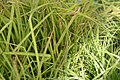 Carex elata Bowles Golden 0zz.jpg