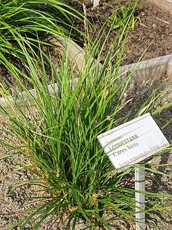 Carex hirta - Oslo botanical garden - IMG 8902.jpg