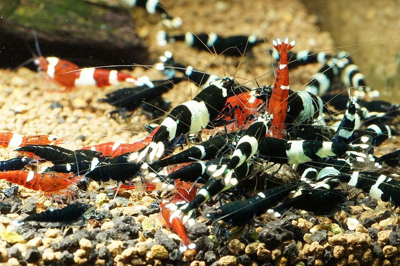Datei:Caridina-cf-cantonensis-taiwanbees-group.jpg