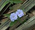 Carolina Wild Petunia - Ruellia caroliniensis (38392095151).jpg