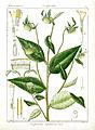 Carpesium nepalense Rungiah.jpg
