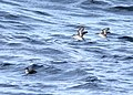 Cassin's Auklets, offshore of Newport, OR, 20 October 2012 (8115022460).jpg