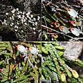 Cassiope lycopodioides (montage).jpg