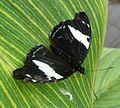 Catonephele numilia ( esite^ ), female. - Flickr - gailhampshire.jpg