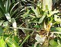 Catopsis sessiliflora HabitusInflorescences BotGardBln0906.jpg