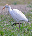 Cattle Egret in breeding plumage (8592119643) (2).jpg