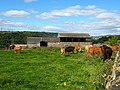 Cattle at Exley Hall Farm - geograph.org.uk - 2049233.jpg