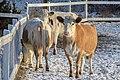 Cattle at Fallkulla farm Malmi Helsinki.jpg