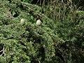Cedrus deodara, Shimla, India (2558940004).jpg